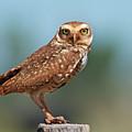 Burrowing Owl by Peter Schoen