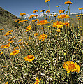 Bush Sunflowers Grow On Arid Slope by Gordon Wiltsie