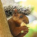 Bushy Tailed Squirrel