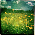 Buttercups by Neil Carey Photography