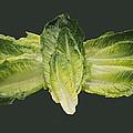 Butterfly Lettuce Print by LeeAnn McLaneGoetz McLaneGoetzStudioLLCcom
