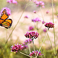 Butterfly - Monarach - The Sweet Life by Mike Savad