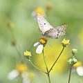 Butterfly On Wildflower by Kim Hojnacki