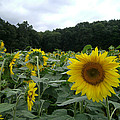 Buttonwoods Sunflowers by Jason Sawicki