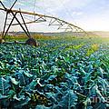 Cabbage Growth Print by Carlos Caetano
