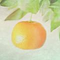 Calamondin Miniature Orange by Peter Chadwick LRPS
