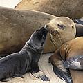 California Sea Lion And Newborn Pup San Print by Suzi Eszterhas