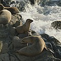California Sea Lions Bask On San Miguel by James A. Sugar