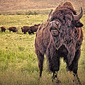 Call Of The Bison by Tamyra Ayles