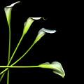 Calla Lily by Photograph by Magda Indigo