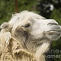 Camel Portrait by Odon Czintos