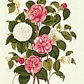 Camellia by English School