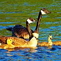 Canada Geese Family by Paul Ge