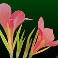 Canna Lilly Whimsy by Rand Herron