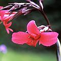 Canna Lily (canna X Ehemanii) by Adrian Thomas