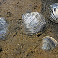 Cape Cod Clam Shells by Juergen Roth