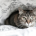 Cat Under In Blankets by Image taken by Mayte Torres