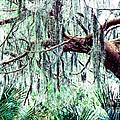 Cedar Draped In Spanish Moss by Thomas R Fletcher