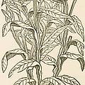 Centaurea Montana, Bachelors Button by Science Source
