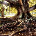 Centenarian Tree by Carlos Caetano