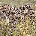 Cheetah Acinonyx Jubatus, Masai Mara by Chris Upton