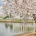 Cherry Blossoms Washington Dc 6 by Metro DC Photography