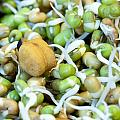 Chickpea And Other Lentils In The Form Of Healthy Eatable Sprouts by Ashish Agarwal