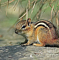 Chipmunk On A Warm Summer Evening by Inspired Nature Photography Fine Art Photography
