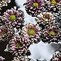 Chrysanthemum 3 by Skip Nall