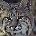 Close-up Of A Bobcat by Dr. Maurice G. Hornocker