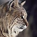 Close-up Of A Bobcat Felis Rufus by Dr. Maurice G. Hornocker