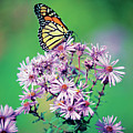 Close-up Of A Monarch Butterfly (danaus Plexippus ) On A Perennial Aster by Medioimages/Photodisc