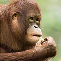 Close-up Of An Orangutan Pongo Pygmaeus by Tim Laman