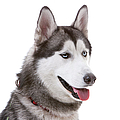 Close-up Of Siberian Husky by Lane Oatey/Blue Jean Images