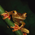 Close View Of A Harlequin Tree Frog by Tim Laman
