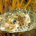 Closeupf Of A Yellowspotted Burrfish Print by Tim Laman