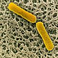 Clostridium Botulinum Bacteria by Cnri