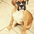 Clyde- Fawn Boxer Puppy by Jody Trappe Photography