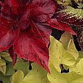 Coleus And Other Plants In A Window Box by Paul Damien