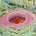Coloured Sem Of Section Through A Human Arteriole by Steve Gschmeissner