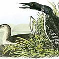 Common Loon by John James Audubon