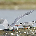 Common Terns by Duncan Shaw