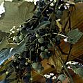 Concord Grapes by Heather Grow
