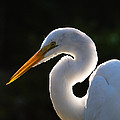 Contemplative Egret by Andres Leon