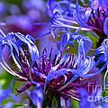 Cornflower Color by Byron Varvarigos