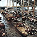 Cow Shed Print by Bjorn Svensson