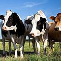 Cows Print by Jane Rix