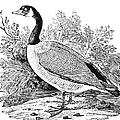 Cravat Goose by Granger