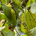 Crimson Fronted Parakeet Upside Down