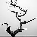 Crooked Tree Print by Matt Hanson